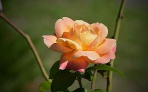 Картинка Роза, Rose, Боке, Bokeh