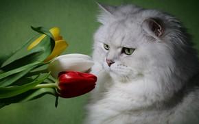 Картинка белый, кот, цветы, пушистый, тюльпаны