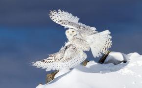 Обои зима, снег, сова, крылья, полярная сова, белая сова