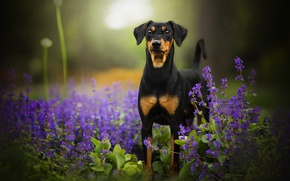 Картинка цветы, собака, боке, Tinkerbell