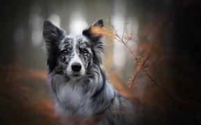 Картинка осень, морда, ветки, Бордер-колли, боке, взгляд, собака