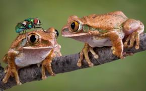 Обои лягушки, фон, муха, две, ветка, макро