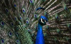 Картинка птица, перья, павлин