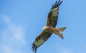 Картинка полет, птица, крылья, коршун