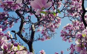 Картинка небо, дерево, розовый, весна, магнолия