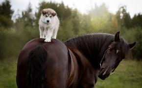 Обои собака, конь, щенок, Сибирский Хаски, лошадь, наездник