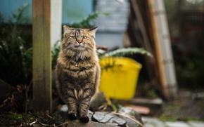Картинка кот, пушистый, прогулка