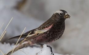 Картинка птица, клюв, хвост, горный чёрный вьюрок