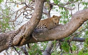 Обои отдых, хищник, леопард, лежит, дикая кошка, на дереве, наблюдение