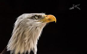 Картинка орёл, орлан, мошка