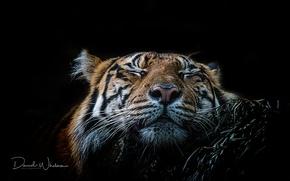 Обои зверь, морда, тигр