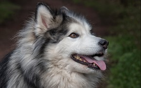 Картинка язык, взгляд, друг, собака