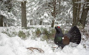 Картинка зима, лес, снег, птица, Глухарь