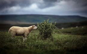 Картинка овца, фон, природа