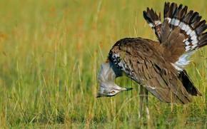Картинка птица, перья, клюв, хвост, Кения, заповедник, Масаи-Мара, африканская большая дрофа