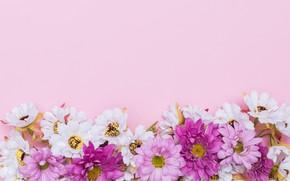 Картинка цветы, фон, ромашки, розовые, fresh, хризантемы, pink, flowers, spring, tender