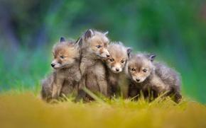 Картинка лисы, малыши, лисята, little foxes