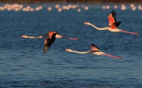 Картинка вода, птицы, полёт, трио, фламинго, троица