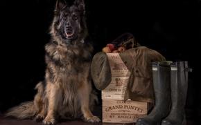 Картинка фон, собака, сапоги, ящики, кепка, овчарка
