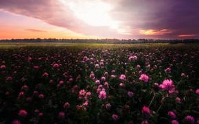 Картинка поле, небо, облака, закат, цветы, розовый, вечер, луг, клевер