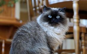 Картинка кошка, взгляд, шерсть