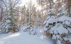 Обои лес, деревья, зима, снег, ель, елка