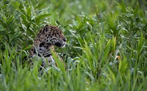 Обои морда, заросли, хищник, ягуар, профиль, дикая кошка, выглядывает