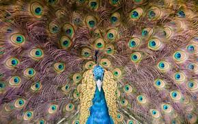 Картинка перья, Птица, хвост, Павлин