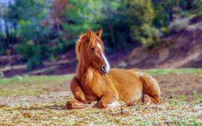 Картинка поле, конь, лошадь, лежит, жеребенок