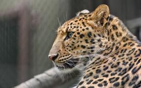 Обои пятна, дикая кошка, зоопарк, мех, профиль, морда, хищник, окрас, леопард