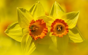 Картинка цветок, лепестки, фон, Нарцисс