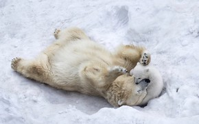 Обои winter, ice, nature, wildlife, mother, wild, fur, paws, animals, son, playing, puppy, snow, Polar bears