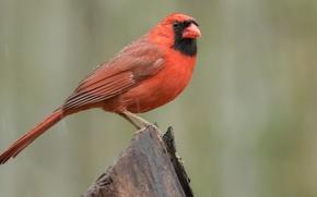 Картинка птицы, кардинал, красный кардинал