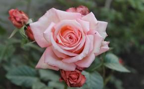 Картинка листья, роза, лепестки, бутон, rose, цветение, leaves, petals, Bud