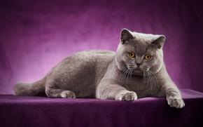 Обои Британская короткошёрстная кошка, фотосессия, кошка, портрет