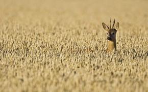 Картинка пшеница, поле, рога, косуля