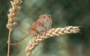 Картинка пшеница, мышь, колосья