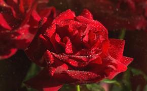Обои капли, роза, лепестки, красная роза, макро