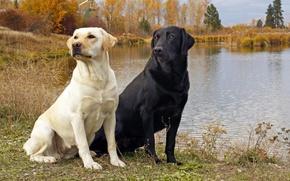 Картинка dog, black and white, Black labrador