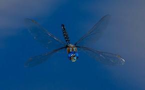 Обои стрекоза, насекомое, крылья, Blue-eyed Darner, Rhionaeshna multicolor