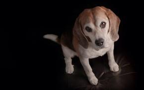 Обои чёрный фон, Бигль, щенок, мордашка, пёсик, взгляд, собака