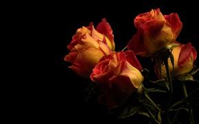 Картинка цветы, розы, букет, черный фон, оранжевые, бутоны, огненные