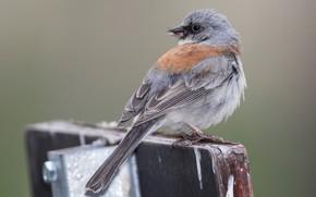 Картинка природа, птица, хвост, серый юнко