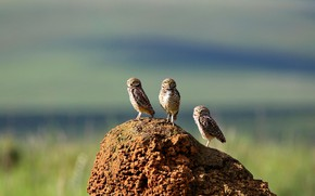 Картинка сова, птица, Бразилия, кроличий сыч, термитник, Серра-да-Канастра