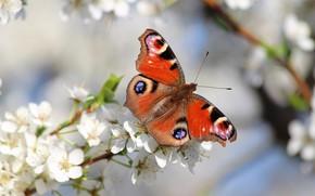 Картинка природа, бабочка, красота, весна, сад, красиво, цветение
