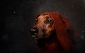 Обои капли, глаза, боке, взгляд, собака, портрет