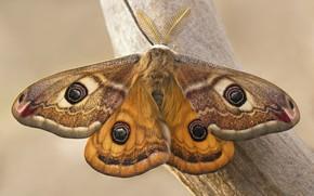 Картинка бабочка, павлиноглазка, сатурния