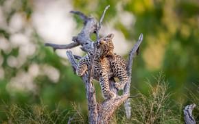 Обои леопард, дерево, природа