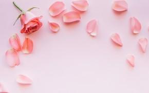 Картинка цветы, розовый, роза, лепестки
