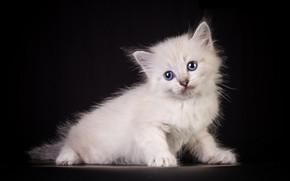 Картинка белый, кот, взгляд, котёнок, киса